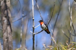 Male Mistletoebird