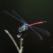 Grenadier Dragonfly