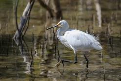 Little Egret - Urunga Estuaries
