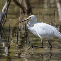 Little Egret - Urunga Estuaries