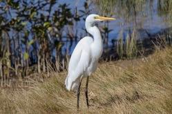 Intermediate Egret - Nambucca Heads
