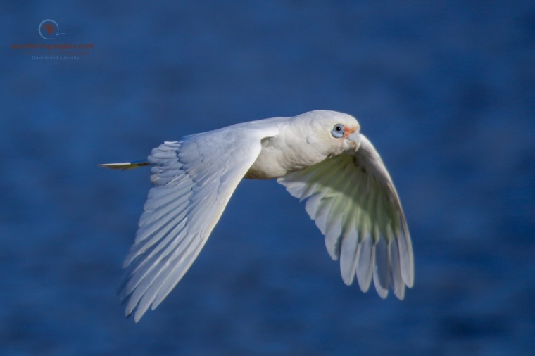 Little Corella Flyby