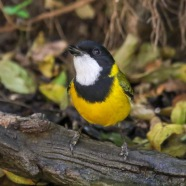 Male Golden Whistler