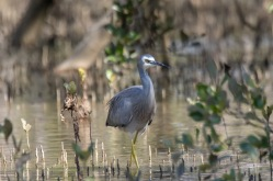 White-Faced Heron - Urunga Estuaries
