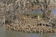 Whistling Duck refuge, Toowoomba Showgrounds