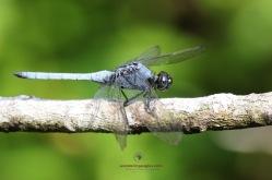 Common Blue Skimmer - Male