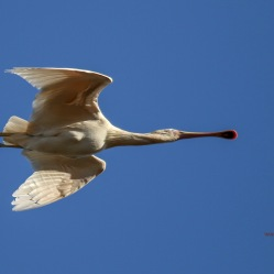 Spoonbill Flyby