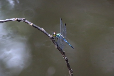 Colouful Metallica Dragonfly