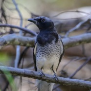 White-Bellied Cuckoo-shrike - Dark Morph (ssp robusta)