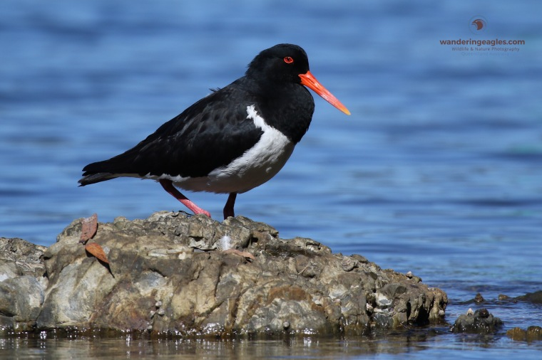Pied Oystercatcher, Bonville Creek