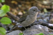Adult Female - Grey Shrike Thrush