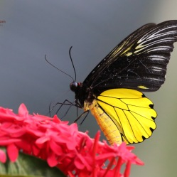 Birdwing Butterfly captured at our digs