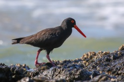 Sooty Oyster-catcher