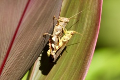 Just a couple of grasshoppers doing there thing
