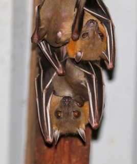 Lesser Short-nosed Fruit Bat
