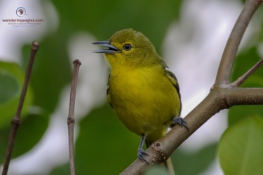 a gorgeous Common Iora