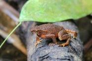 Bornean Toad