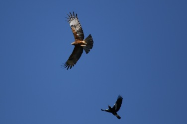 Immature Brahminy Kite, being terrorised