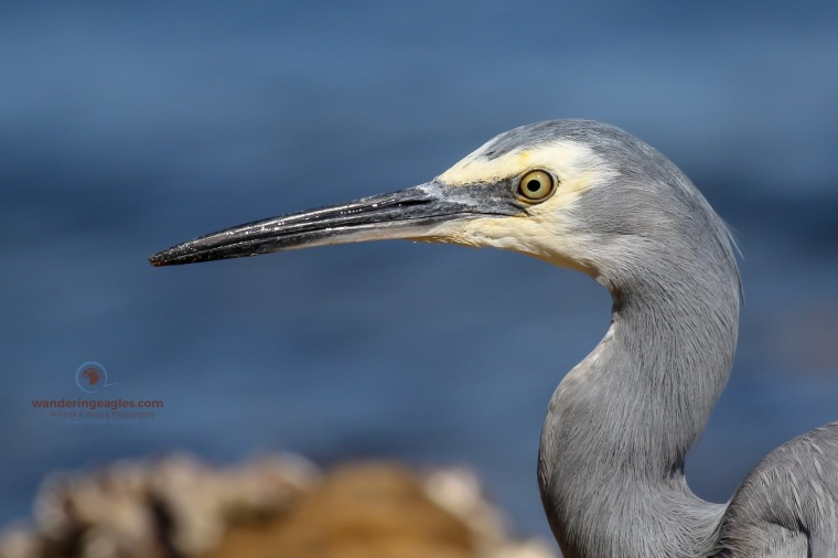 White-faced Heron - Up close