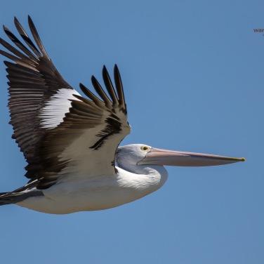 Pelican Flyby