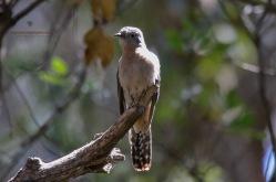 Fantailed Cuckoo