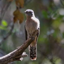 Fantailed Cuckoo