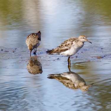 Sharp tailed Sandpipers