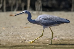 White-faced Heron on the banks of Pine Creek