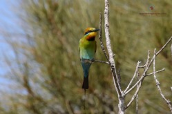 Rainbow Bee-eater - Urunga
