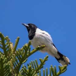 Pied Butcherbird - Urunga