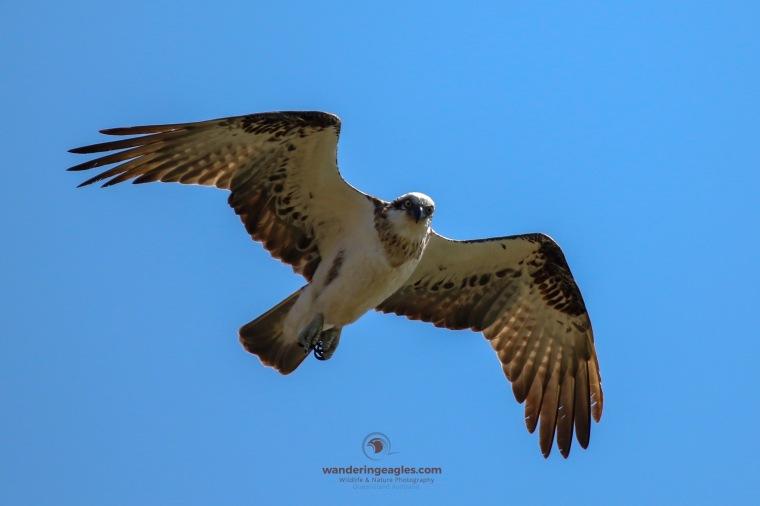 Osprey soaring