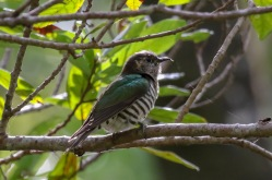 Shining Bronze Cuckoo i
