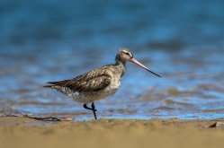 one footed Bar-tailed Godwit