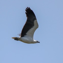 Adult White-bellied Sea-eagle
