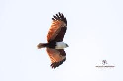 Brahminy Kite Soaring