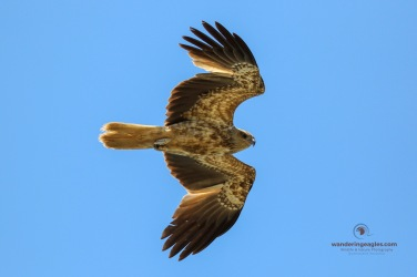 Whistling Kite