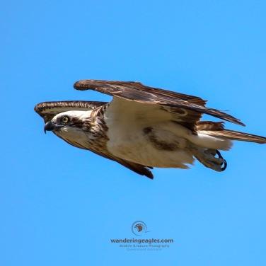 Osprey Glideby