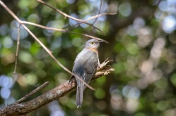 Fantailed Cuckoo - Bongil Bongil National Park
