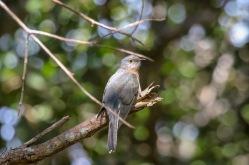Fantailed Cuckoo - Bongil Bongil National Park