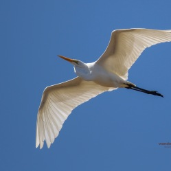 A Great Egret takes to the skies