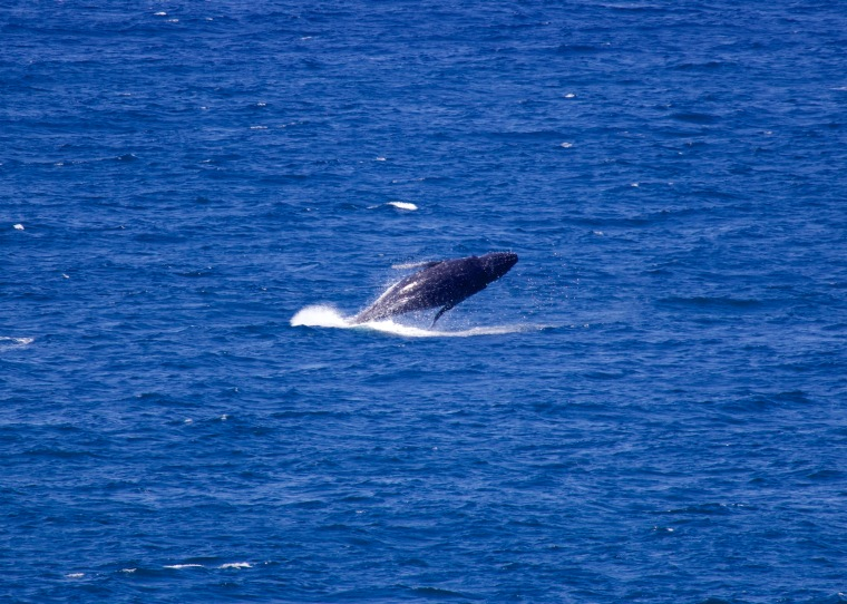 Humpback calf airborn