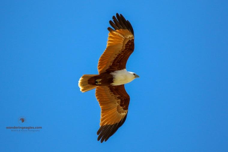 Brahminy Kite Flyby