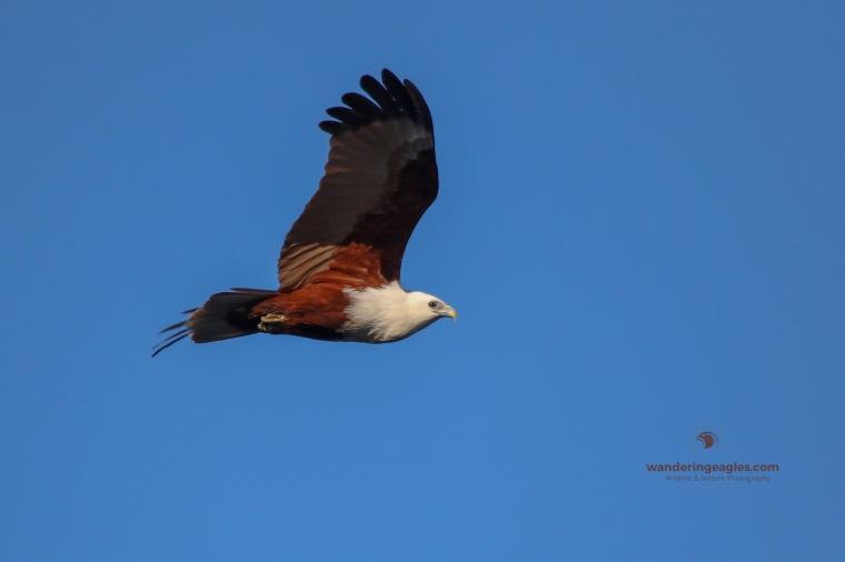 Brahminy Kite Flyby- Grassy Head
