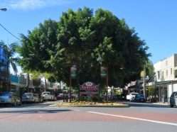 Huge Trees of Sawtell