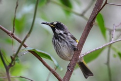Immature White-cheeked Honeyeater