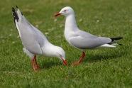 Silver Gulls Displaying