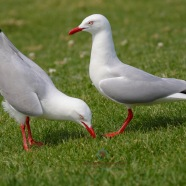 Silver Gulls Displaying