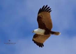 We just love Brahminy Kites