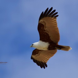 We just love Brahminy Kites