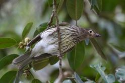 Female Figbird